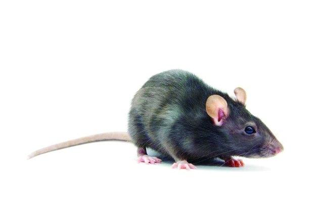 110117-03  芝加哥老鼠猖獗,商人Ismat Deletioglu和老鼠拉開戰爭序幕.JPG