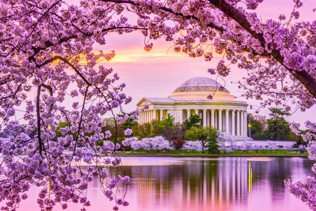 Jefferson-Cherry-Blossom